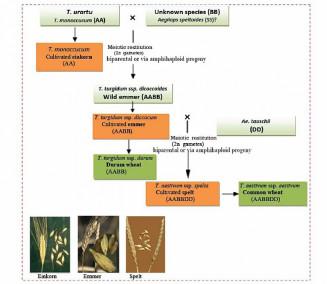 Filogenia das espécies domesticadas de Triticum spp. (Arzani and Ashraf, 2017))